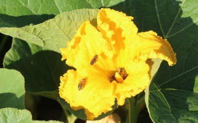 20. maj – svetovni dan čebel