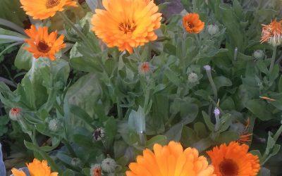 Pomen zelišč in začimb v naši prehrani in skrbi za dobro počutje-26.7.2021